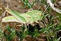 Migratory Locust (Locusta migratoria) nymph ... (29506595357).jpg