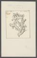 Millepora alcicornis - - Print - Iconographia Zoologica - Special Collections University of Amsterdam - UBAINV0274 111 07 0010.tif