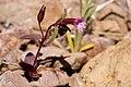 Mimulus rubellus - Flickr - aspidoscelis.jpg