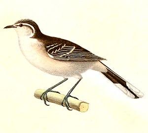 Chalk-browed mockingbird - Image: Mimus saturninus 1847