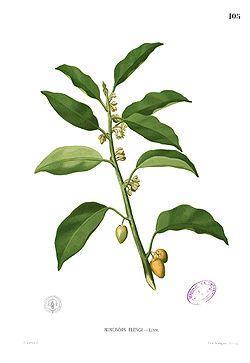 Tanjung, mimusops elengimenurut blanco, flora de filipinas