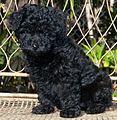 Miniature Poodle pup.JPG