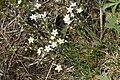 Minuartia glaucina (Hügel-Miere) IMG 9221.JPG