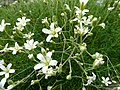 Minuartia laricifolia 928.JPG