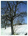 Minus 10 Grad Celsius Apple Tree Germany - Master Seasons Rhine Valley Photography - panoramio.jpg