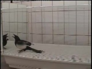 File:Mirror-Induced-Behavior-in-the-Magpie-(Pica-pica)-Evidence-of-Self-Recognition-pbio.0060202.sv009.ogv