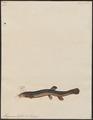 Misgurnus fossilis - - Print - Iconographia Zoologica - Special Collections University of Amsterdam - UBA01 IZ15000170.tif