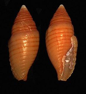 <i>Strigatella vexillum</i> species of mollusc