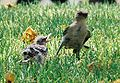 Mockingbird Feeding Chick012.jpg