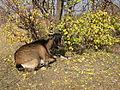 Moldova goat.jpg