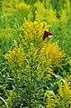 Monarchs on goldenrod (30331264428).jpg