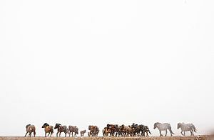 Horse culture in Mongolia - A herd of horses run through a winter storm in Mongolia.