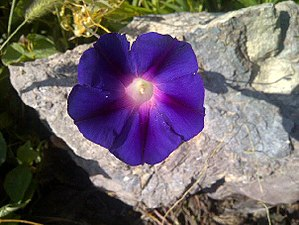 Morning glory - Morning glory flower