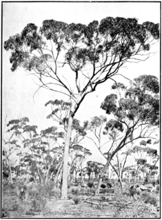 <i>Eucalyptus longicornis</i> species of plant