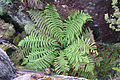 Mount Wellington Tasmania bracken ad.jpg