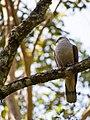Mountain Imperial Pigeon (13890382085).jpg