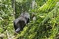 Mountain gorilla (Gorilla beringei beringei) 05.jpg