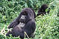 Mountain gorilla looking (6461814405).jpg