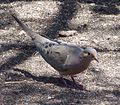 Mourning Dove - Flickr - gailhampshire.jpg