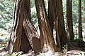 Muir Woods National Monument 2010 09.JPG