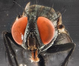 Muscid fly - USGS Bee Inventory and Monitoring Laboratory.jpg
