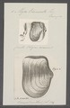 Mya truncata - - Print - Iconographia Zoologica - Special Collections University of Amsterdam - UBAINV0274 079 13 0003.tif