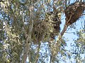 Myiopsitta monachus -large nests in gum trees2.jpg
