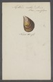 Mytilus ruber - - Print - Iconographia Zoologica - Special Collections University of Amsterdam - UBAINV0274 076 01 0002.tif