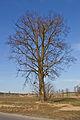 Nördliche der zwei Winterlinden an der B30 in Heidenreichstein 2014-03 NÖ-Naturdenkmal GD-138.jpg