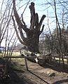 ND Tierparkbuche Facus Sylvatica im Tierpark Hirschfeld in Sachsen..IMG 3648WI.jpg