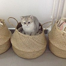 Chaton British Shorthair de 3 mois .