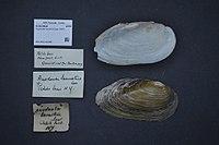 Naturalis Biodiversity Center - ZMA.MOLL.418497 - Pyganodon lacustris (Lea, 1857) - Unionidae - Mollusc shell.jpeg