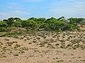 Naturbelassene Mittelmeerdüne 2 Pinien-Kiefern Wald östlich von Side - Sorgun - Titreyengöl - panoramio.jpg