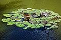 Naturschutzgebiet Hardt Seerosen Close-up.jpg