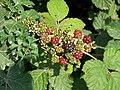 Nearly Blackberries - geograph.org.uk - 505680.jpg