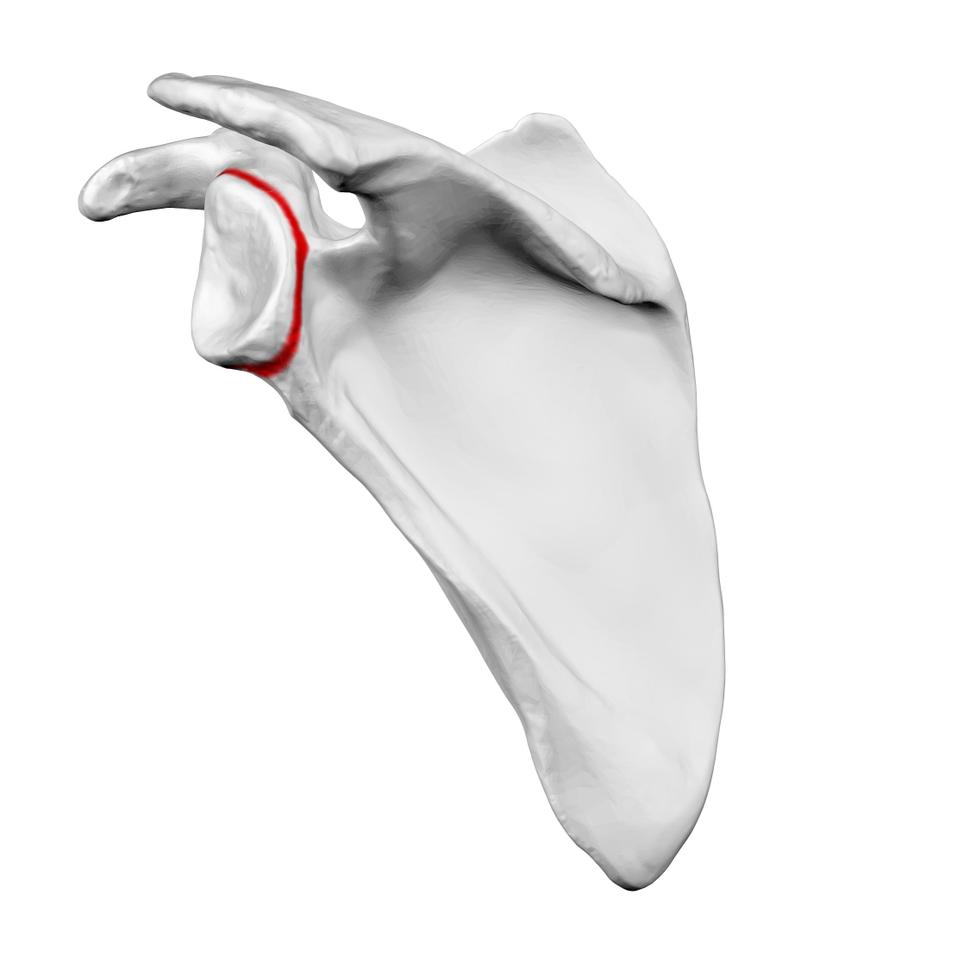 Neck of left scapula02