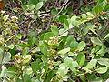 Neocarya macrophylla 0001.jpg