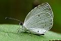 Neopithecops zalmora dry season 20131228.jpg