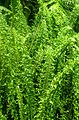 Neprolepis exaltata Fluffy Ruffles kz2.jpg