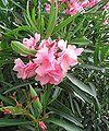 Nerium oleander2.jpg