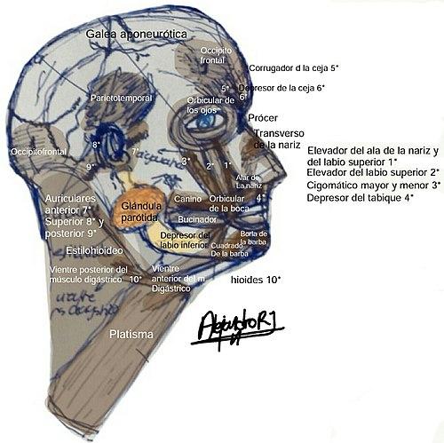 Músculos de la cara - Wikipedia, la enciclopedia libre