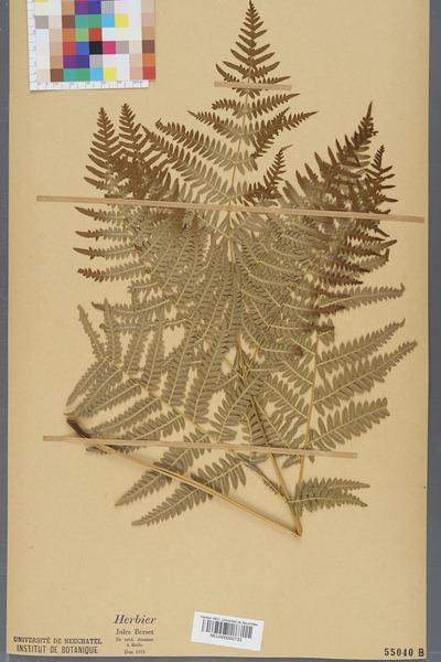 File:Neuchâtel Herbarium - Pteridium aquilinum - NEU000000733.tiff