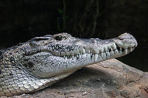 Neuguinea-Krokodil (Crocodylus novaeguineae)