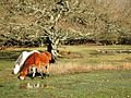 New Forest Ponies near Linford Brook - geograph.org.uk - 333168.jpg