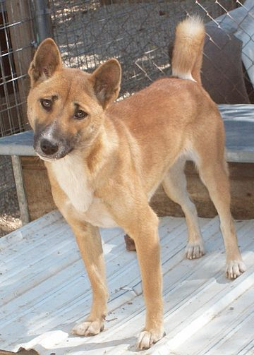 New Guinea Singing Dog (female, 11 months).jpg
