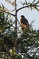 New Zealand Falcon - New Zealand (27423453189).jpg