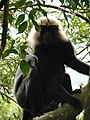 Nilgiri Langur On A Tree.jpg