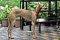 Nipper. 14 months old Chippiparai dog.jpg