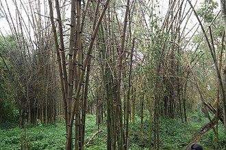 Nisargadhama - Inside the bamboo park