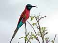 Northern Carmine Bee-eater (Merops nubicus) (6861453137).jpg
